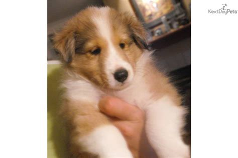 free sheltie puppies shetland sheepdog sheltie for sale for 600 near college station 4afeb229 5791