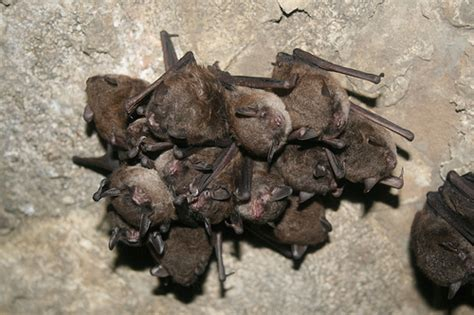 hibernating bats flickr photo sharing