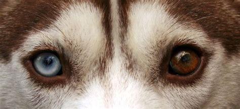 husky con occhi diversi album di razza siberian husky o husky siberiano