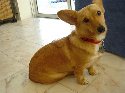 dorgi puppies dorgi pw corgi dachshund mix info temperament care puppies pictures