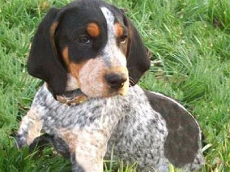 tick hound puppy bluetick coonhound bluetick coonhound