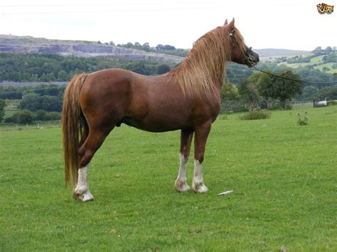 section d welsh section d horse breed information buying advice