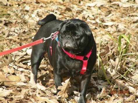 my pug is panting heavily summer pet safety