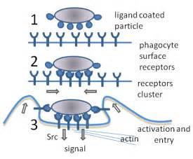 Proton Definition Biology Phagocytosis