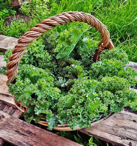 cavolo come cucinare cavolo kale ricette per cucinare le foglie ricette