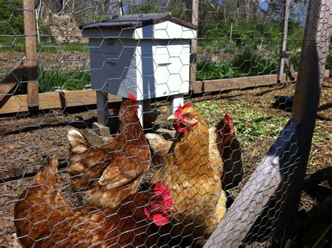Can Backyard Chickens And Bees Co Exist Community Chickens Chickens In The Backyard