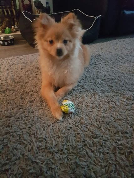 6 month pomeranian puppy 6 month miniture pomeranian leicester leicestershire pets4homes