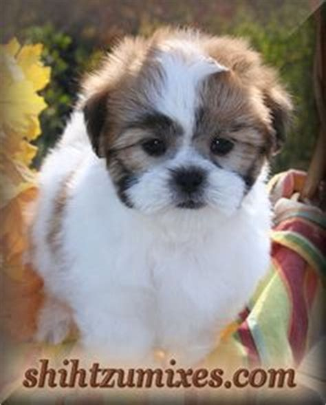 malshi puppies for sale in florida animals pups malshi s on puppys maltese and puppies for sale
