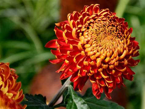 november flowers november s birthflower the colorful chrysanthemum avas