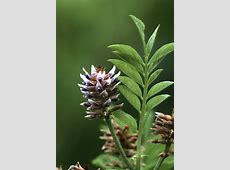 Licorice Root | NCCIH Anise Oil