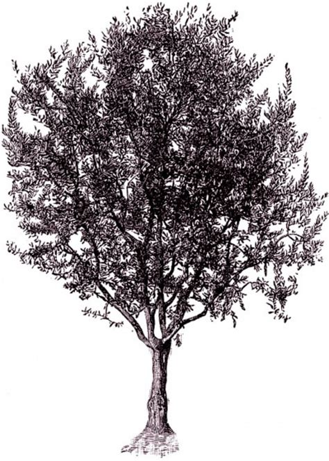 vintage tree free vintage digital st tree clip image cheri liefeld