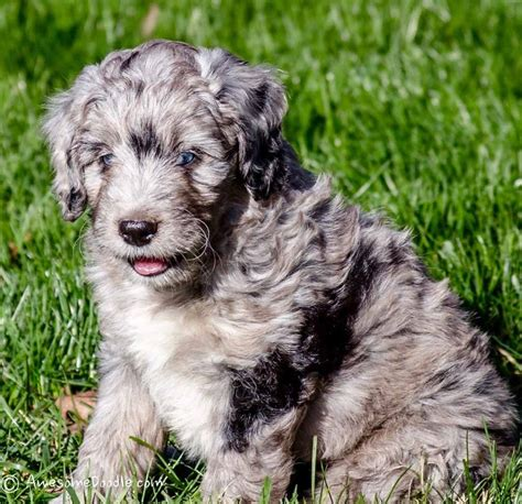 merle puppies blue merle aussiedoodle puppy ned awesomedoodle