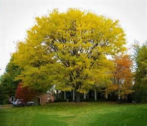 thornless honeylocust for sale online the tree center