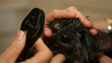 do dogs get pink eye pink eye in dogs treatment