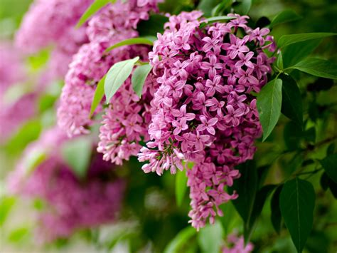 lilac flowers lilac flowers spring one hd wallpaper pictures