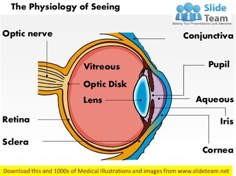 basic structures of the eye ppt download physiology of seeing eye anatomy medical images for power point