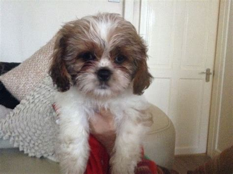 cava shih tzu beautiful cava tzu pups willenhall west midlands pets4homes