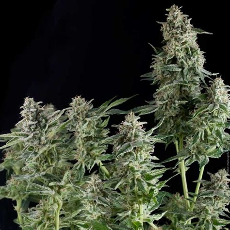 northern lights seeds delicious seeds
