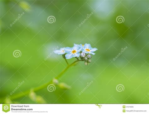 Macro Me - forget me not macro royalty free stock photo image 31216605