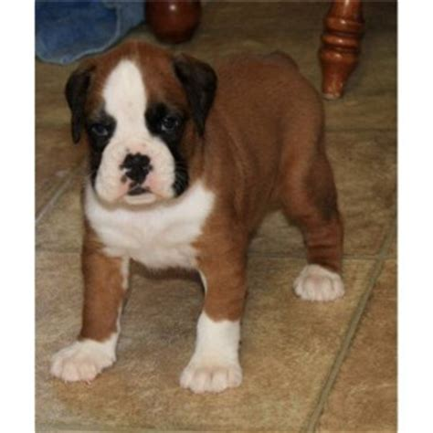 boxer puppies available now dogs tuscaloosa al free classified ads