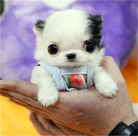 tiny puppies sponsor daily kawaii