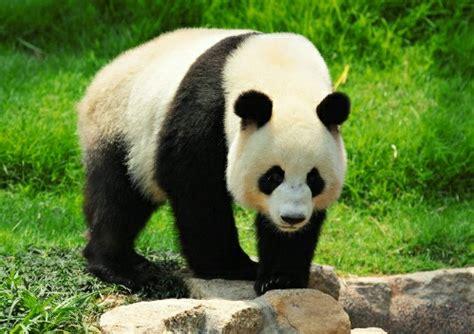 Panda Lucu gambar panda imut lucu kumpulan gambar