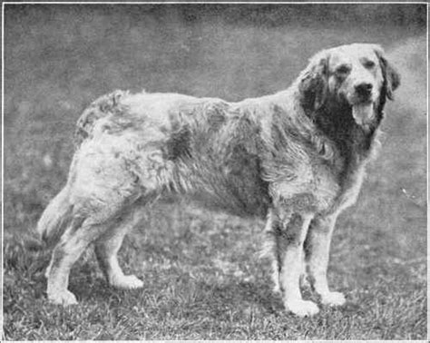 white russian golden retriever russian yellow retriever history