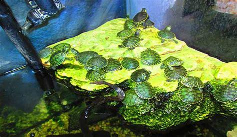 lade per tartarughe d acqua tartarughe d acqua vendita a como centerzoo lariano