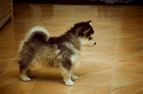 pomskies puppies pomsky rasevalg hundesonen no