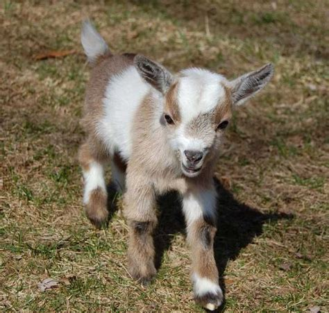 goats as house pets 25 best ideas about miniature goats on pinterest why zoos are bad farm animals