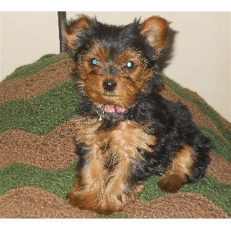 carolina yorkie breeders maltipoo rescue greensboro nc