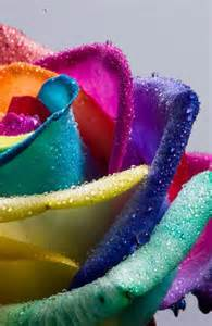 rainbow colored roses 1000 ideas about rainbow roses on roses
