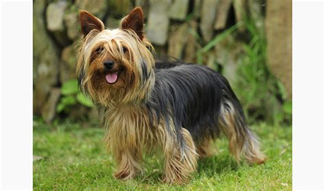 how big does a yorkie pomeranian mix get big breeds picture pets world