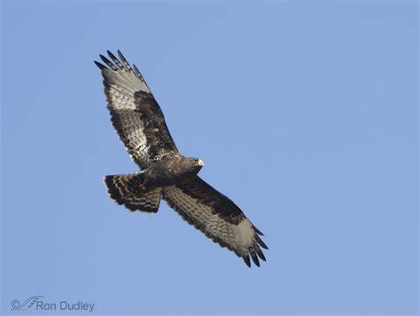 rough legged hawk rough legged hawk