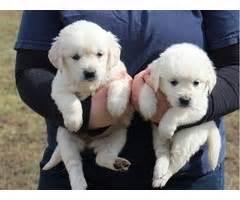 golden retriever puppies bakersfield gargantuan golden retriever puppies for sale animals fiddletown california
