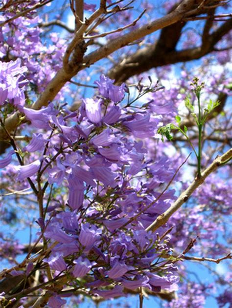 spring purple flowering trees hunker