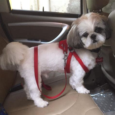 fun shih tzu haircuts poodle forum standard toy shih tzu short haircuts haircuts models ideas