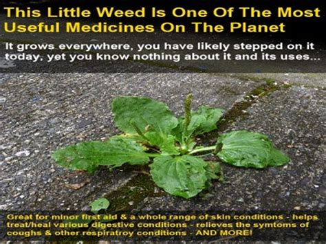 this little weed is one of the most useful medicines on this little weed is one of the most important medicines on