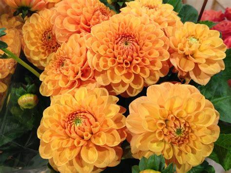 fiori varietà le pi 249 variet 224 di dalia il fiore preferito dalle