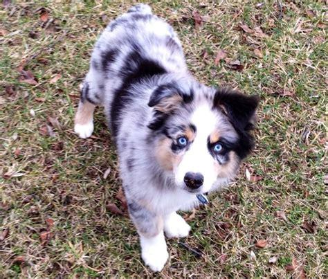 blue merle australian shepherds our sweet australian shepherd puppy blue merle so sweet