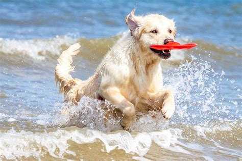do golden retrievers get along with other dogs best frisbee dogs top 10 list of disc breeds s health