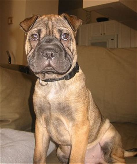 shar pei and pug mix american ori pei pug shar pei mix info temperament puppies pictures