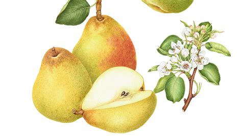 12 best images about pear the book of pears a love letter to a once pre eminent