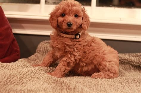 goldendoodle puppy nyc goldendoodle breeder ny goldendoodle puppies ny