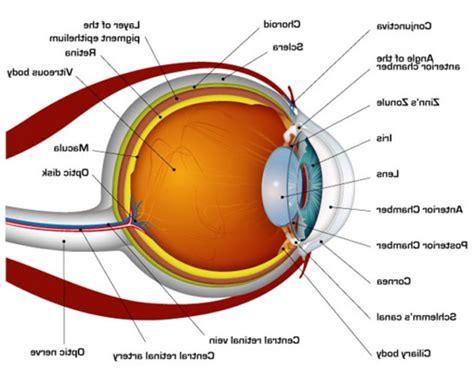 eye anatomy diagram printable human eye diagrams diagram site