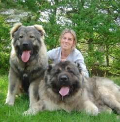 Know about caucasian shepherd dog know about dog