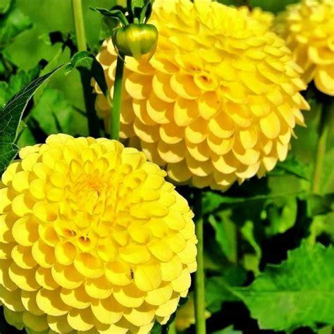 semi di fiori semi di melange di fiori gialli mondo piante vendita