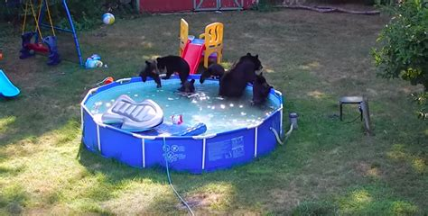 Bears Backyard Pool And Five Cubs Take A New Jersey