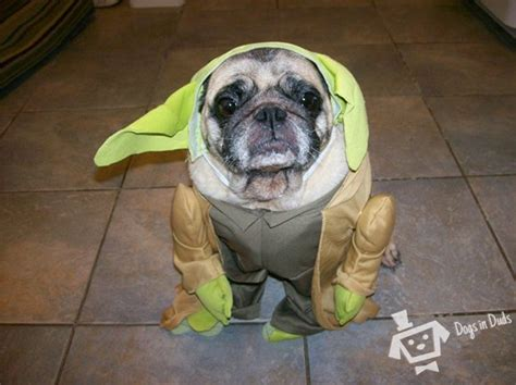 pug in yoda costume pugs in yoda costumes www pixshark images galleries with a bite