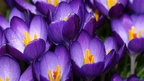 purple crocuses wallpapers
